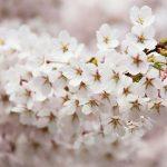 韓国2017桜開花予想は?桜祭り、花見スポットは汝矣島(ヨイド)?花見は日本と違う?